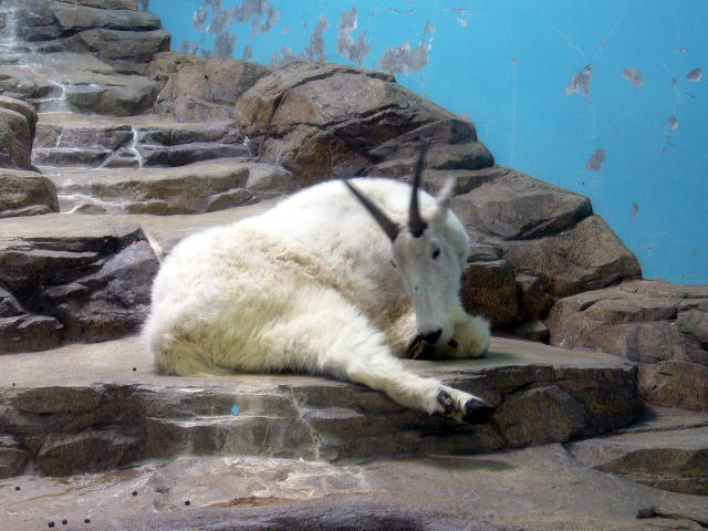 シロイワヤギの画像 p1_23