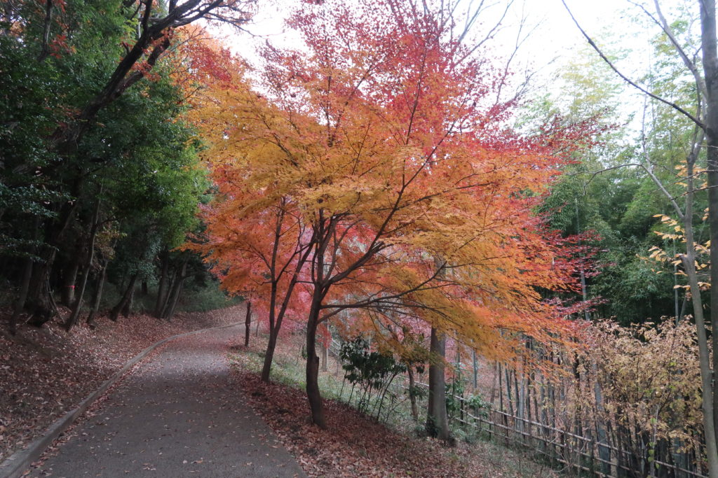 都筑中央公園の紅葉