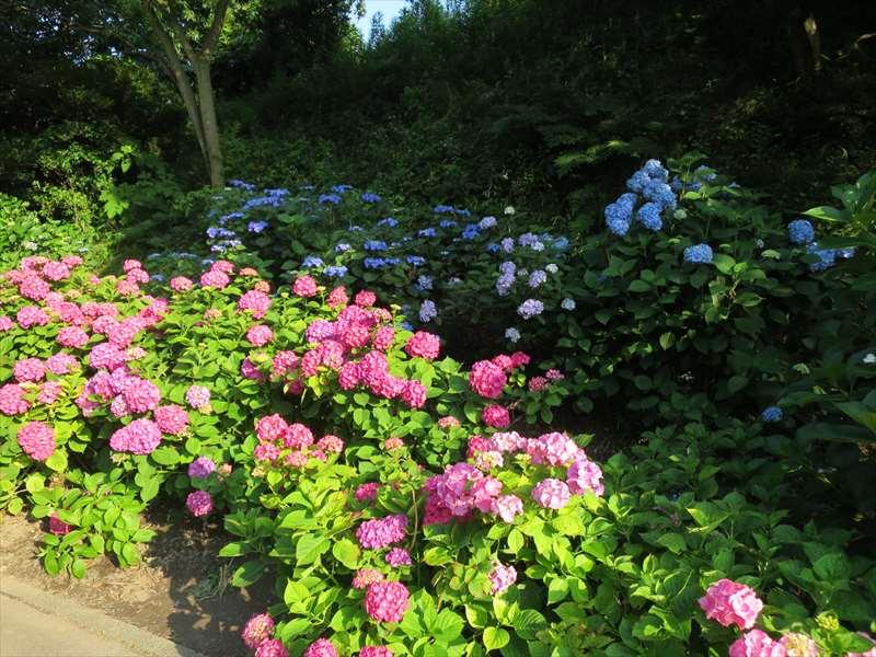 横須賀しょうぶ園のアジサイ