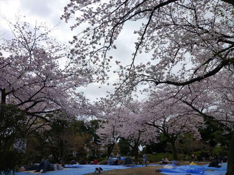公園東側の桜