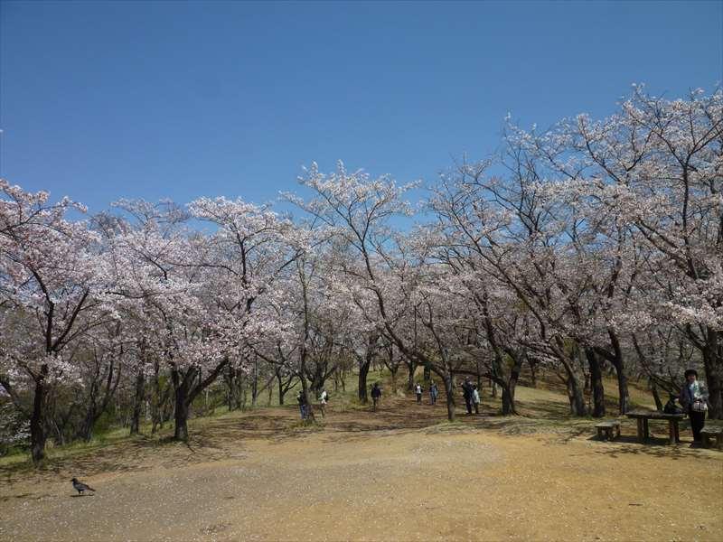 公園の桜(桜山)