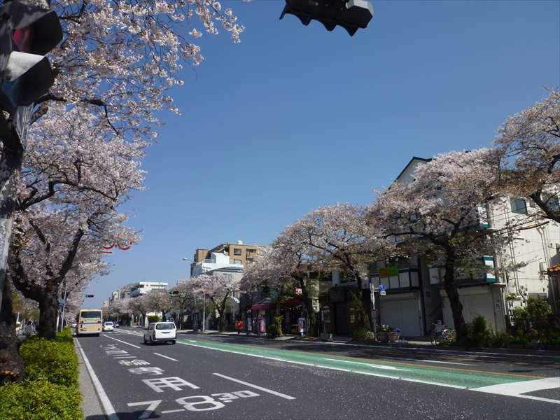 本牧通りの桜