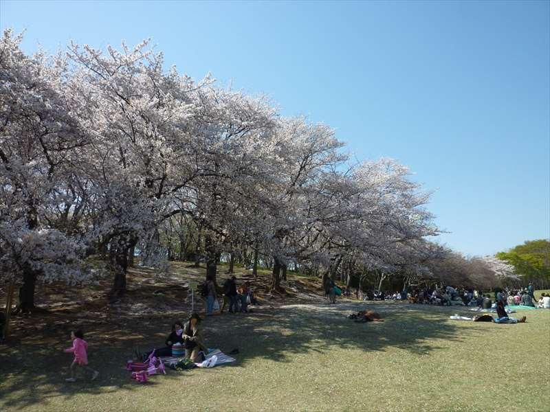 桜の木 (桜山)