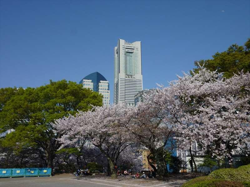公園の桜とランドマークタワー