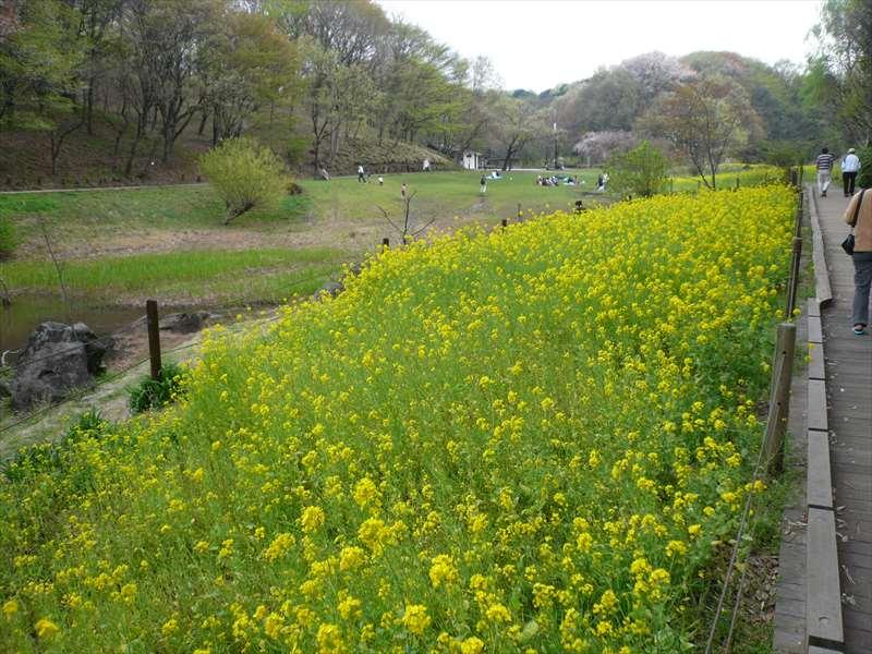 春の草原(菜の花)
