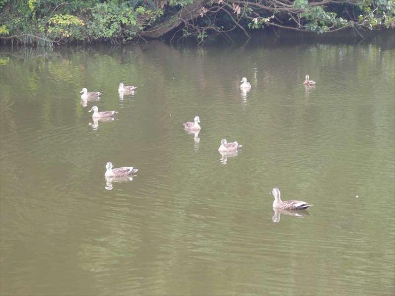 鴨池のカモたち